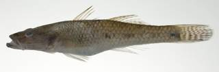 To NMNH Extant Collection (Glossogobius aureus USNM 403098 photograph lateral view)