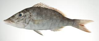To NMNH Extant Collection (Lethrinus olivaceus USNM 403128 photograph lateral view)