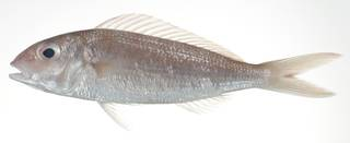 To NMNH Extant Collection (Nemipterus fucosus USNM 403131 photograph lateral view)