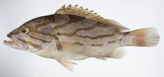 To NMNH Extant Collection (Epinephelus morrhua USNM 403199 photograph lateral view)