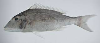 To NMNH Extant Collection (Lethrinus xanthochilus USNM 403226 photograph lateral view)