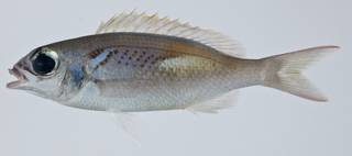 To NMNH Extant Collection (Scolopsis xenochrous USNM 403259 photograph lateral view)