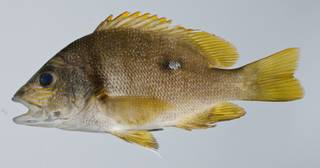 To NMNH Extant Collection (Lutjanus rivulatus USNM 403262 photograph lateral view)