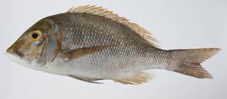 To NMNH Extant Collection (Lethrinus nebulosus USNM 403276 photograph lateral view)