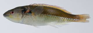 To NMNH Extant Collection (Stethojulis interrupta USNM 403306 photograph lateral view)