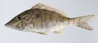 To NMNH Extant Collection (Lethrinus olivaceus USNM 403330 photograph lateral view)