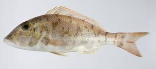To NMNH Extant Collection (Lethrinus ravus USNM 403331 photograph lateral view)