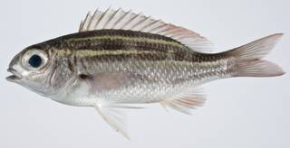 To NMNH Extant Collection (Scolopsis lineata USNM 403381 photograph lateral view)