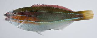 To NMNH Extant Collection (Stethojulis trilineata USNM 403384 photograph lateral view)