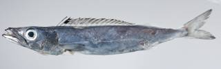 To NMNH Extant Collection (Rexea prometheoides USNM 403392 photograph lateral view)