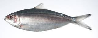 To NMNH Extant Collection (Sardinella hualiensis USNM 403456 photograph lateral view)