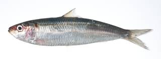 To NMNH Extant Collection (Sardinella gibbosa USNM 403458 photograph lateral view)