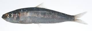 To NMNH Extant Collection (Herklotsichthys quadrimaculatus USNM 403462 photograph lateral view)