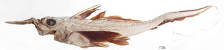 To NMNH Extant Collection (Neoharriotta carri USNM 222830 photograph lateral view small specimen)