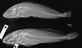 To NMNH Extant Collection (Cottus asper USNM 27281 radiograph)