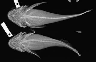 To NMNH Extant Collection (Cottus asper USNM 27281 radiograph dorsal)