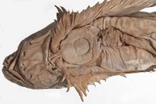 To NMNH Extant Collection (Crystallichthys mirabilis USNM 51466  type photograph head)