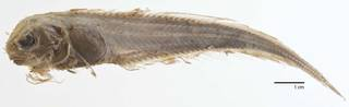 To NMNH Extant Collection (Careproctus rhodomelas USNM 73334 type photograph)