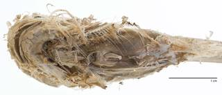 To NMNH Extant Collection (Careproctus rhodomelas USNM 73334 type photograph head ventral)
