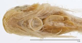 To NMNH Extant Collection (Careproctus pycnosoma USNM 73340 type photograph head ventral)