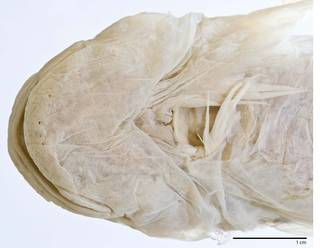 To NMNH Extant Collection (Liparis osborni USNM 87554 type photograph head ventral)