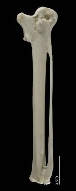 To NMNH Extant Collection (Fregatidae (Frigatebirds), USNM 610592, carpometacarpus, ventral)