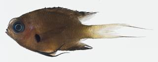 To NMNH Extant Collection (Chromis agilis USNM 400607 photograph lateral view)
