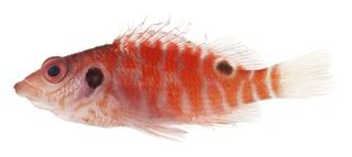 To NMNH Extant Collection (Amblycirrhitus bimacula USNM 401384 photograph lateral view)