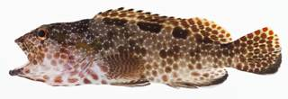 To NMNH Extant Collection (Epinephelus hexagonatus USNM 400951 photograph lateral view)