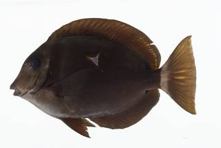 To NMNH Extant Collection (Acanthurus leucopareius USNM 402576 photograph lateral view)
