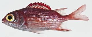 To NMNH Extant Collection (Sargocentron punctatissimum USNM 400579 photograph lateral view)