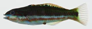 To NMNH Extant Collection (Thalassoma quinquevittatum USNM 400566 photograph lateral view)