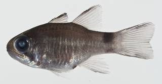 To NMNH Extant Collection (Nectamia savayensis USNM 400571 photograph lateral view)