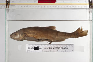 To NMNH Extant Collection (Acrocheilus alutaceus USNM 83357 syntype photograph lateral)