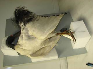 To NMNH Extant Collection (USNM 57004-8 Threskiornus aethiopicus)