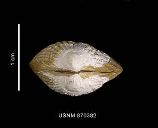 To NMNH Extant Collection (Cyclocardia velutina aff. , apical view)