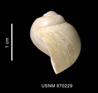 To NMNH Extant Collection (Falsilunatia soluta (Gould, 1848) shell lateral view)