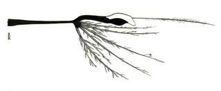 To NMNH Extant Collection (Eustomias macronema P11092 illustration)