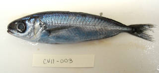 To NMNH Extant Collection (Cubiceps pauciradiatus USNM 405003 photograph lateral view)