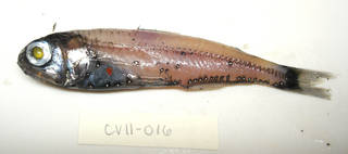 To NMNH Extant Collection (Symbolophorus evermanni USNM 405016 photograph lateral view)