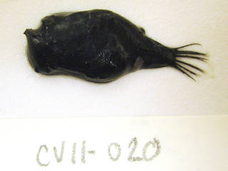 To NMNH Extant Collection (Cryptopsaras couesii USNM 405020 photograph lateral view)