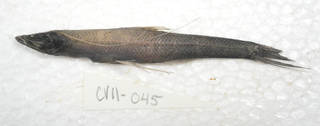 To NMNH Extant Collection (Bathypterois USNM 405045 photograph lateral view)