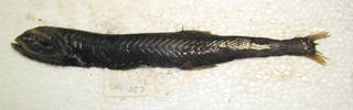 To NMNH Extant Collection (Gonostoma elongatum USNM 405057 photograph lateral view)