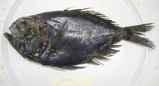 To NMNH Extant Collection (Diretmichthys parini USNM 405066 photograph lateral view)
