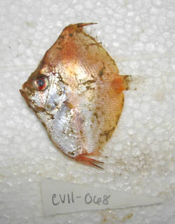 To NMNH Extant Collection (Antigonia caprus USNM 405068 photograph lateral view)