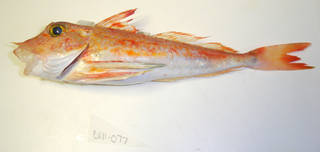 To NMNH Extant Collection (Chelidonichthys USNM 405077 photograph lateral view)
