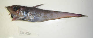 To NMNH Extant Collection (Caelorinchus caelorhincus USNM 405130 photograph lateral view)