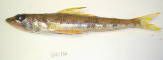 To NMNH Extant Collection (Aulopus filamentosus USNM 405132 photograph lateral view)