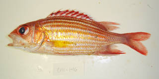 To NMNH Extant Collection (Sargocentron hastatum USNM 405146 photograph lateral view)