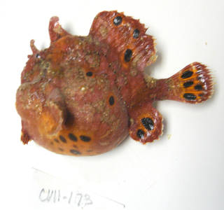 To NMNH Extant Collection (Antennarius pardalis USNM 405173 photograph lateral view)